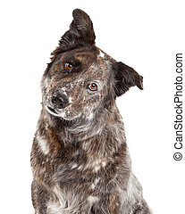 Closeup of Australian Shepherd Mix Breed Dog - A very...