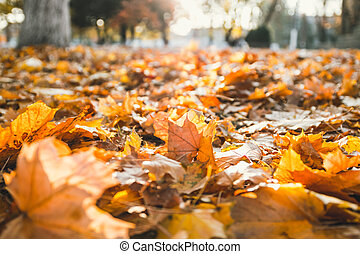 Closeup of autumn leaves on the ground in a forest. Autumn leaves in the sun