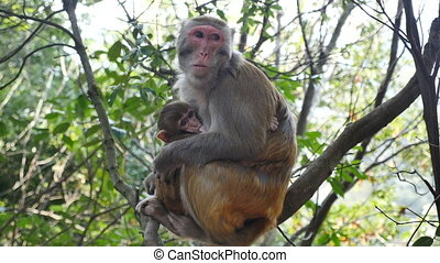 closeup of baby monkey and mother .