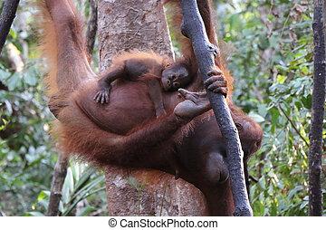 Closeup of baby orangutan hanging on his mother, Tanjung...
