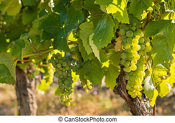 backlit bunches of ripe Sauvignon Blanc grapes in vineyard -...