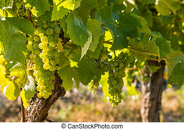 backlit bunches of ripe Sauvignon Blanc grapes on vine in...