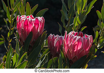backlit pink protea flowers