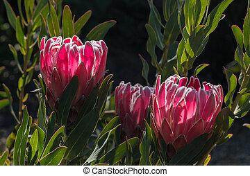 backlit pink protea flowers