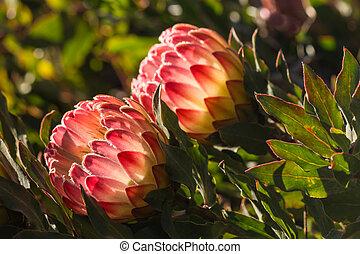 backlit protea flowers - closeup of backlit protea flowers