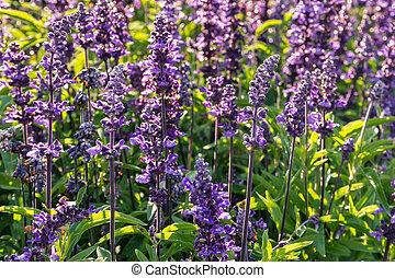 backlit purple lavender sage flowers in bloom with raindrops