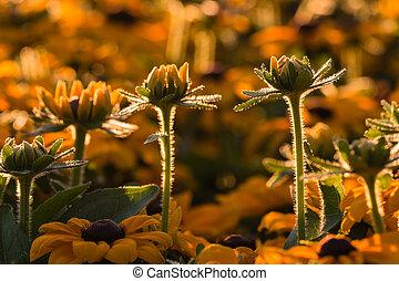 backlit rudbeckia flowers