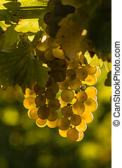 backlit Sauvignon blanc grapes - closeup of backlit...