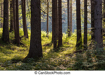 backlit spruce trees in forest - closeup of backlit spruce...