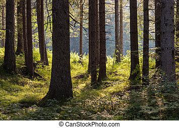 backlit spruce trees in forest - closeup of backlit spruce...