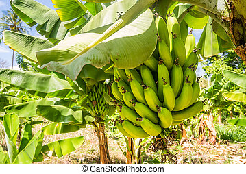 Closeup of banana bunch on the plantation