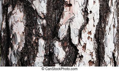 Bark of white Pine Tree.