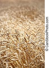 Closeup of barley in a field