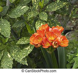 closeup of beautiful clivia plant