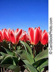 closeup of Beautiful Dutch tulip flowers in field