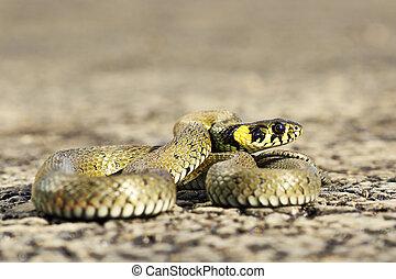 closeup of beautiful grass snake on asphalt road