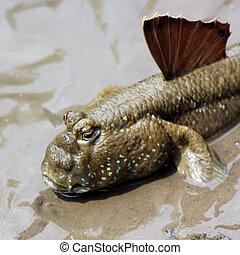 mudskipper - Closeup of beautiful mudskipper fish