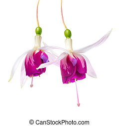 closeup of beautiful red and white fuchsia flower is isolated on