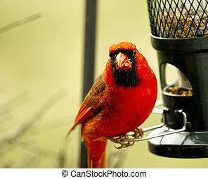 Closeup of beautiful Red Cardinal