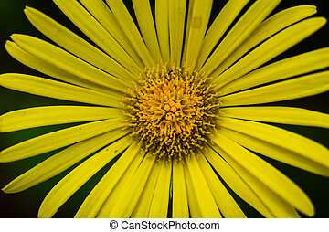 Closeup of beautiful yellow flowers in the garden, Spring background with beautiful yellow flowers. spring-summer concept, flowers concept, spring garden, spring flowers