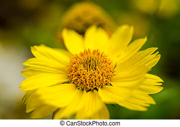 Closeup of beautiful yellow flowers in the garden, Spring background with beautiful yellow flowers