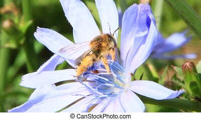 Closeup of bee on purple Cichorium blooming flower. Common...