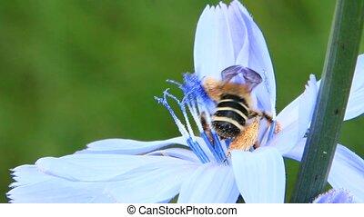 Closeup of bee on purple Cichorium blooming flower