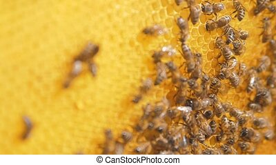 closeup of bees on honeycomb in apiary .selective focus...