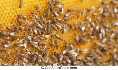 closeup of bees on honeycomb in apiary .selective focus slow...