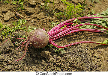 closeup of beetroot