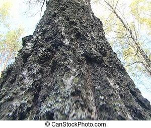 Closeup of birch tree trunk bark details.