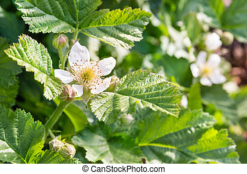 blackberry bush with flowers and leaves in summertime