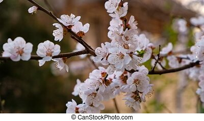 Closeup of blooming cherry tree branch with bunch of flowers...