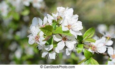 Closeup of blooming cherry tree twig. Beautiful white cherry...