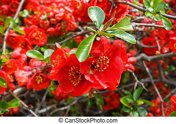 Closeup of blossom of Japanese quince or Chaenomeles ...