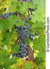 Closeup of blue grapes in a wine yard in Canada.