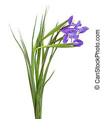 iris on white background
