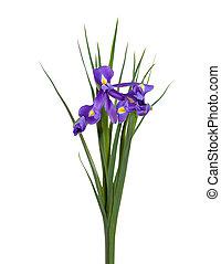 irises on white background