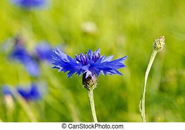 Closeup of blur cornflower bluet bluebottle flower in rape rapeseed field. Natural macro beauty background.