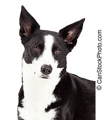 Closeup of Border Collie Mix Breed Dog - A closeup of a...