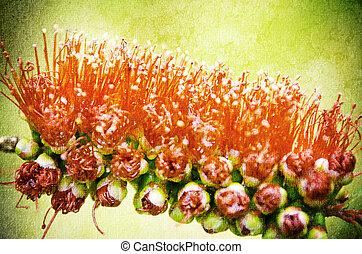 bottlebrush - closeup of bottlebrush (callistemon) flower.