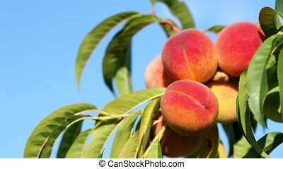 Closeup of branch with fresh ripe peaches and leaves on the tree. Blue sky as background. Sunny windy day.