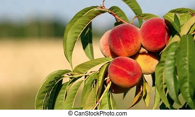 Closeup of branch with fresh ripe peaches and leaves on the tree. Sunny windy day.