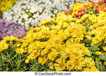 bright yellow chrysanthemum flowers in bloom