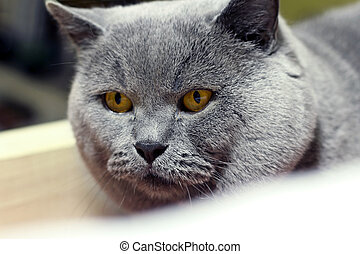 closeup of british shorthair cat