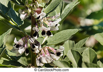 broad beans plant in bloom - closeup of broad beans plant in...