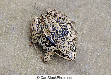 Closeup of brown rana frog amphibian black spot