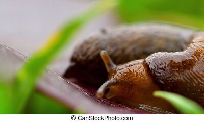 Closeup of brown slug crawling
