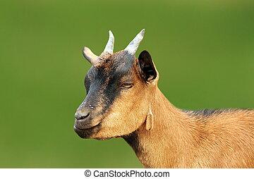 closeup of brown young goat