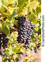 bunch or ripe pinot noir grapes on vine in vineyard -...